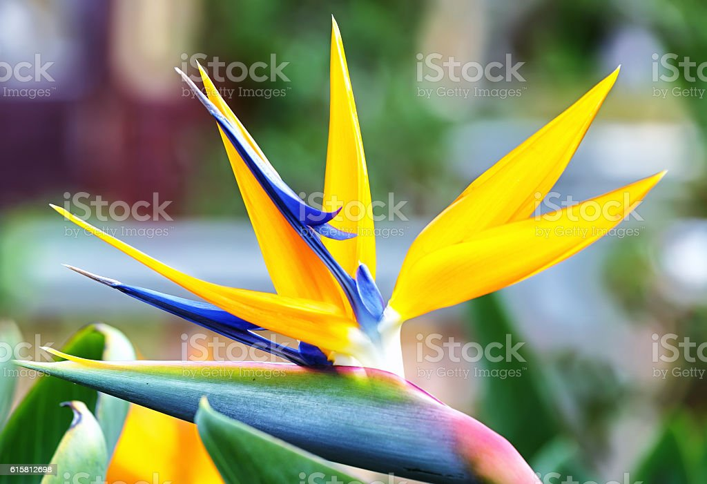 The bird of paradise flowers stock photo