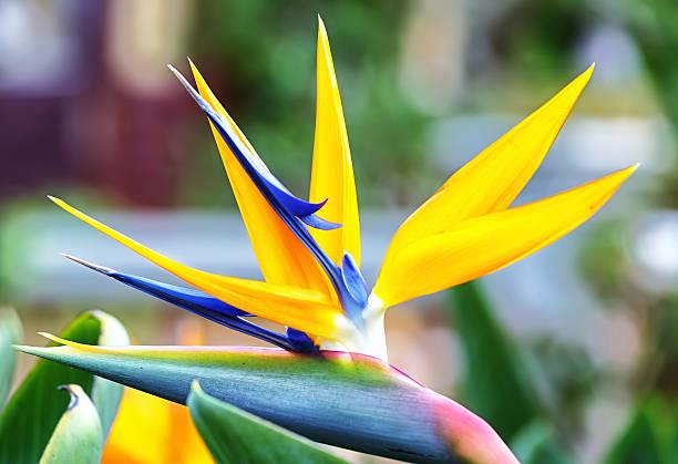 The bird of paradise flowers stock photo
