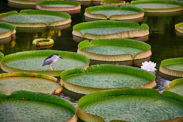 The Bird standing on floating giant water lilies The Night Heron bird walking on giant leaves of water lilies (Victoria Amazonica) in public park of Taipei, Taiwan. victoria water lily stock pictures, royalty-free photos & images