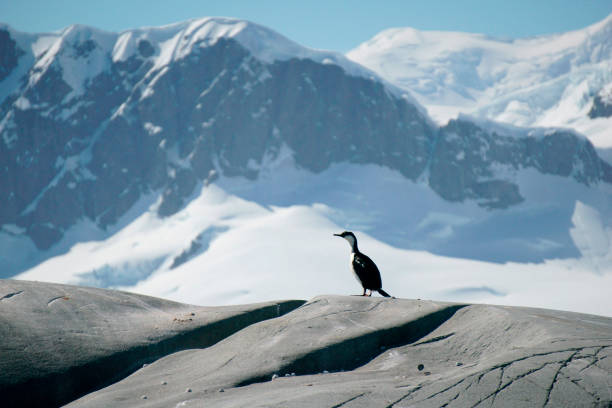 The bird stands on the rock, a glacier in the background, South Georgia Island stock photo