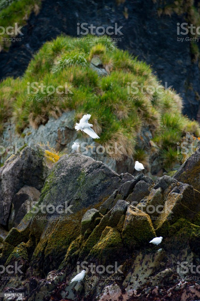 The bird stands on the rock, a glacier in the background, South...