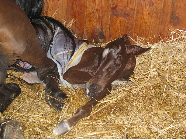 the birth of a foal - fohlen stock-fotos und bilder