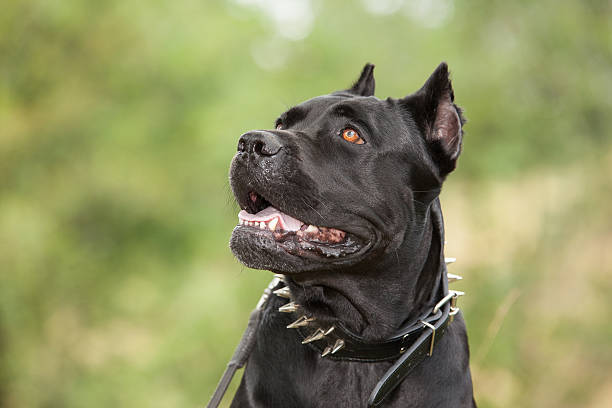 The black dog Black dog on the background of a green trees and grass. Breed Cane Corso. cane corso stock pictures, royalty-free photos & images