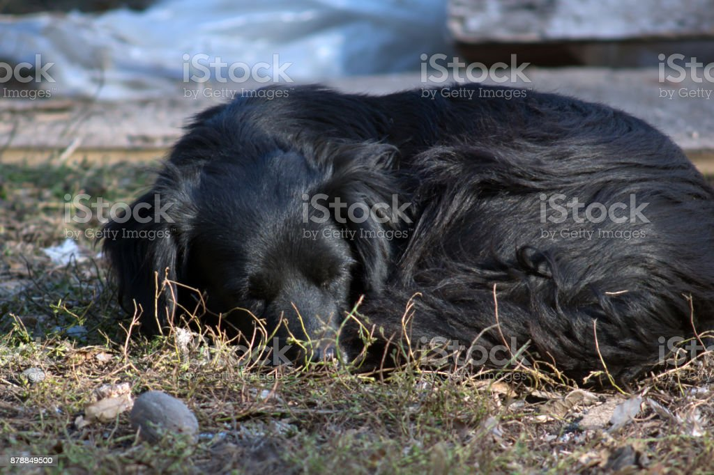 The black dog. stock photo