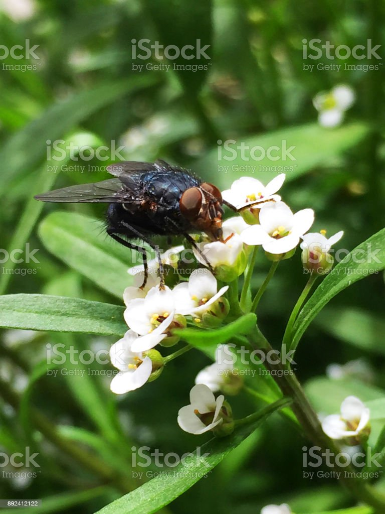 The black fly stock photo