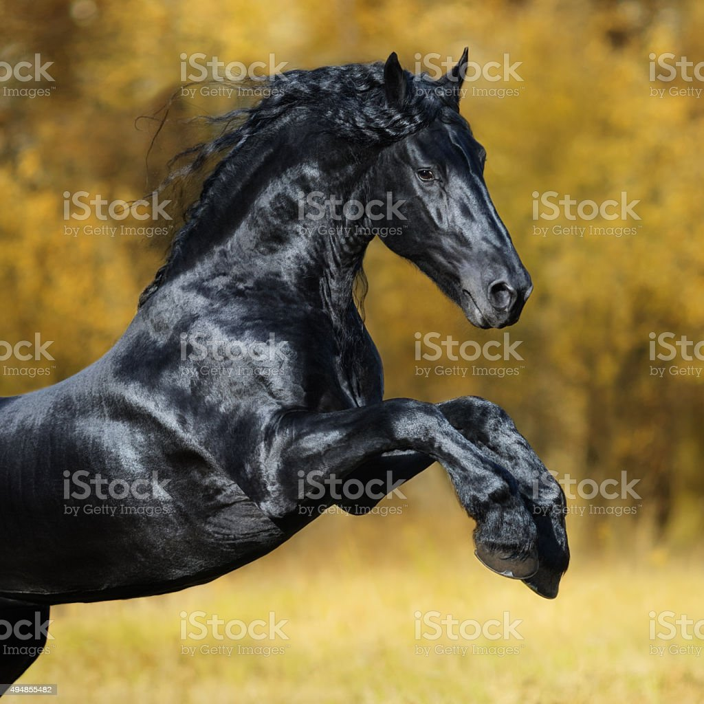 The black Friesian horse play in the gold autumn wood stock photo