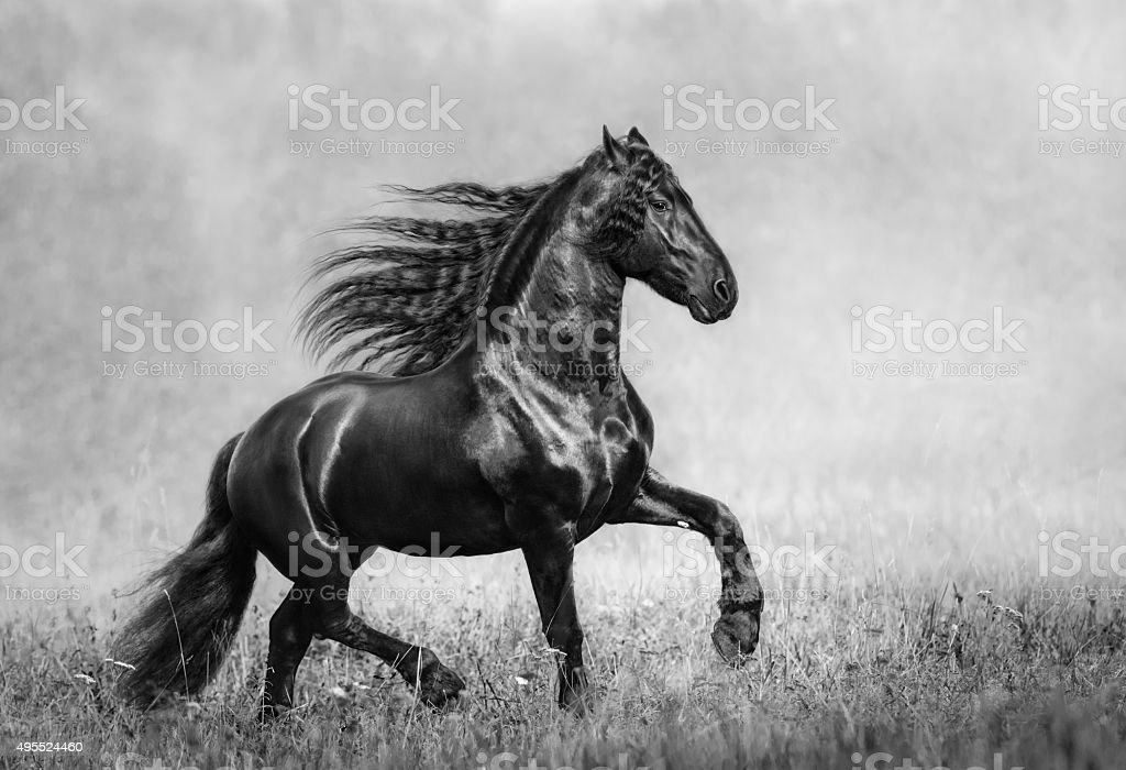 The black Frisian stallion in the autumn foggy field stock photo