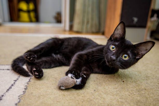 The black funny kitten is played with a toy mouse at home picture id998059590?b=1&k=6&m=998059590&s=612x612&w=0&h=c8sf0k2b43vmmykltodo2lvcsvlbt2 q wi z3oco5u=
