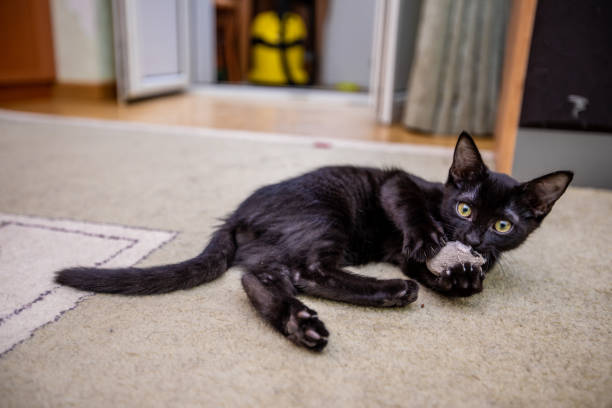 The black funny kitten is played with a toy mouse at home picture id998059602?b=1&k=6&m=998059602&s=612x612&w=0&h=qi0t8r4yrs5houcohh6j5dngxvzbot7ejhebqlkbm8m=