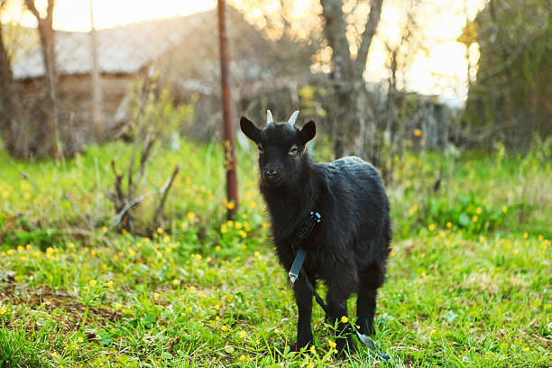 The black goat. stock photo