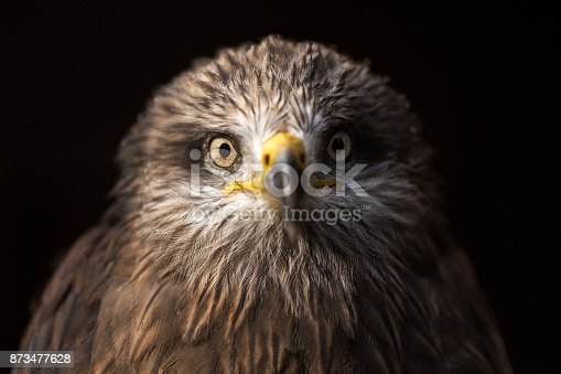 The black kite portrait ,headshot (Milvus migrans)