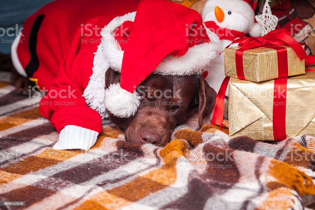 the black labrador retriever lying with gifts on christmas decorations royalty free stock photo - Black Lab Christmas Decor