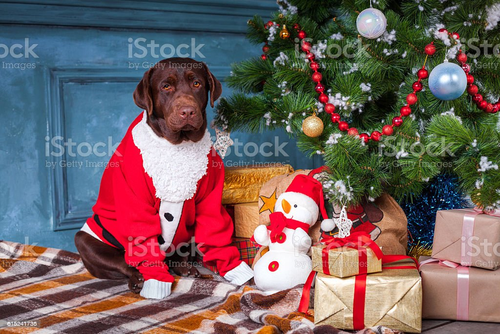 the black labrador retriever sitting with gifts on christmas decorations royalty free stock photo - Black Lab Christmas Decor