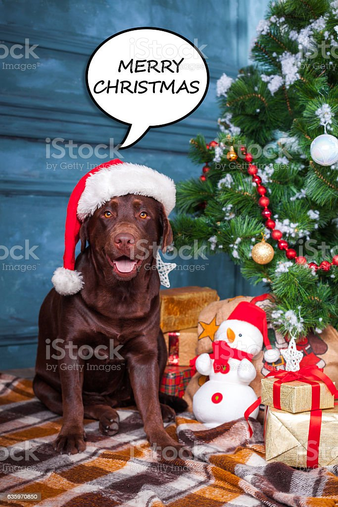 the black labrador retriever sitting with gifts on christmas decorations royalty free stock photo