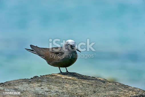 The black noddy or white-capped noddy (Anous minutus) is a seabird from the family Laridae. Papahnaumokukea Marine National Monument, Midway Island, Midway Atoll, Hawaiian Islands