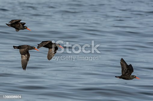 The black oystercatcher (Haematopus bachmani) is a conspicuous black bird found on the shoreline of western North America and also in Alaska. Sitka Sound, Alaska. Flying over the water.