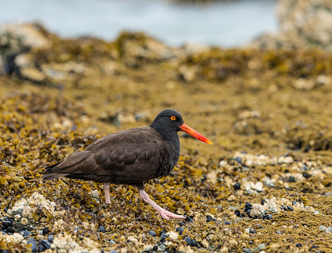 The black oystercatcher (Haematopus bachmani) is a conspicuous black bird found on the shoreline of western North America