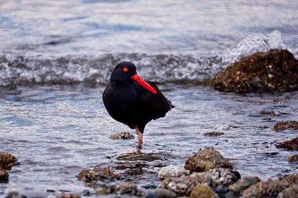 beccaccia di mare nera del nord america da pesca nel surf - uccello marino foto e immagini stock