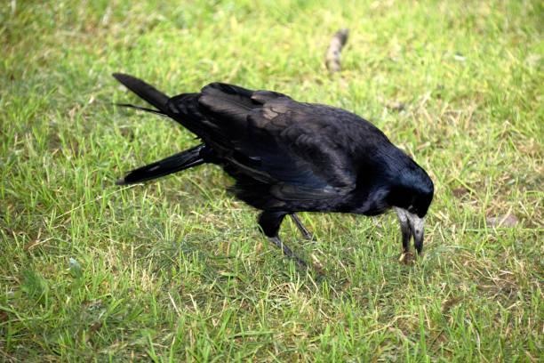 die jagd auf schwarze turm auf der grünen wiese - saatkrähe stock-fotos und bilder