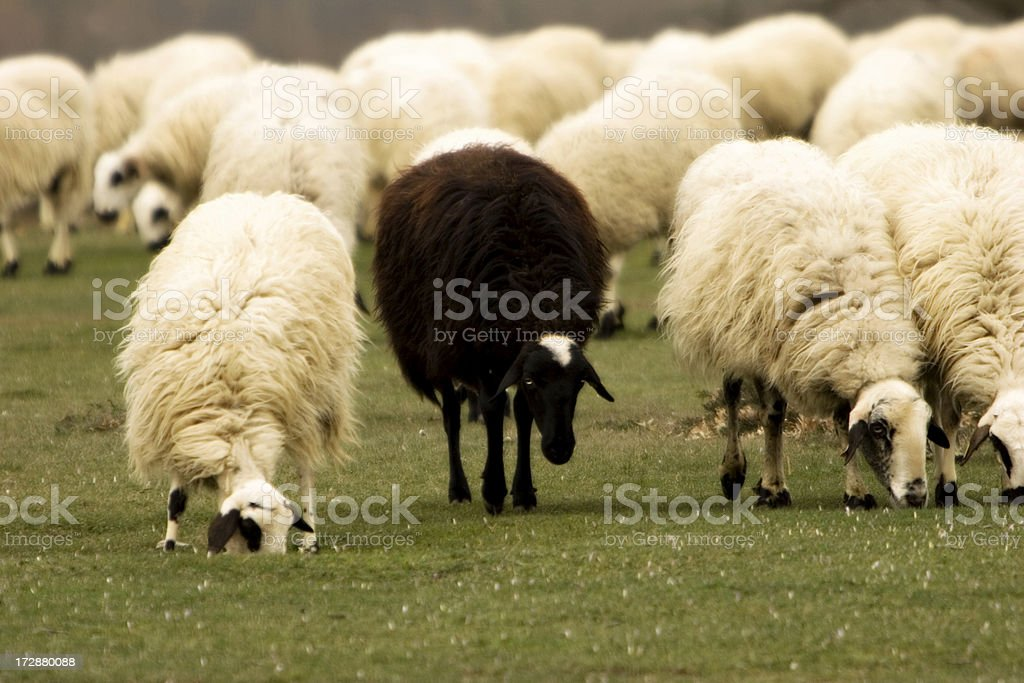 The Black Sheep stock photo