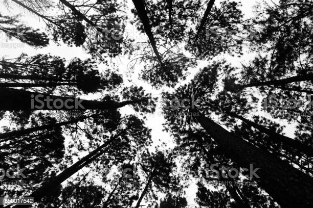 Photo of The black silhouette of the tree taken from the bottom corner and have the white sky is the background. Photo of Pine tree from the bottom up on top for a background.