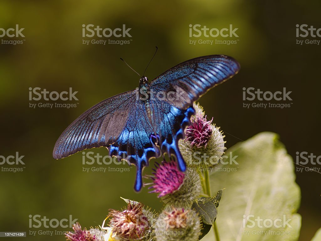 The black-blue butterfly on a thistle flower stock photo