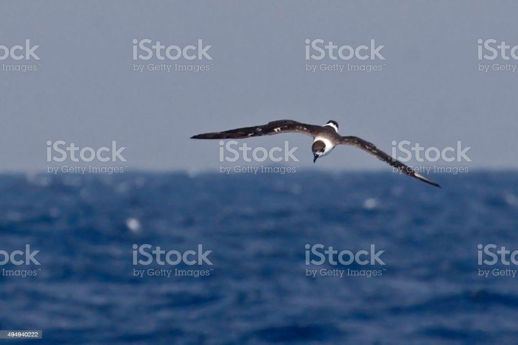 The Black-capped Petrel, Pterodroma hasitata flying stock photo