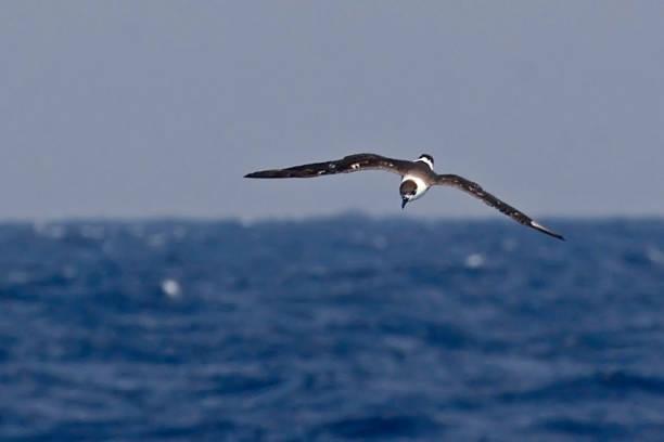 Le noir Pétrel enneigés, Pterodroma hasitata flying - Photo