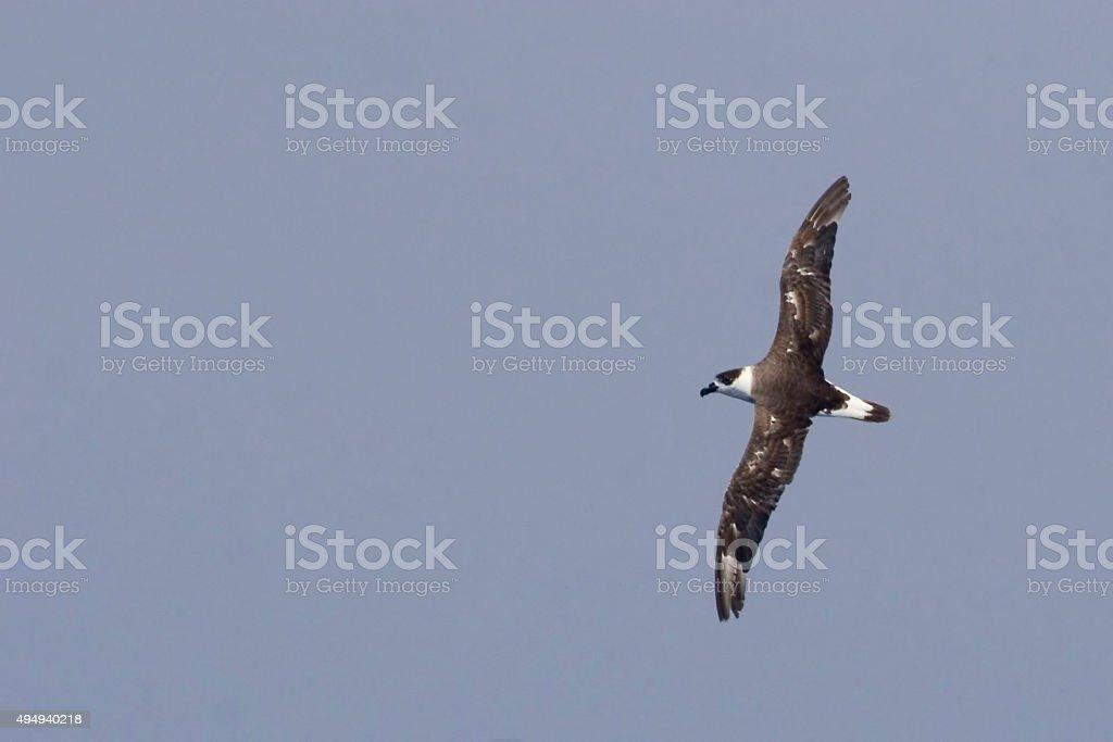 The Black-capped Petrel, Pterodroma hasitata in flight stock photo