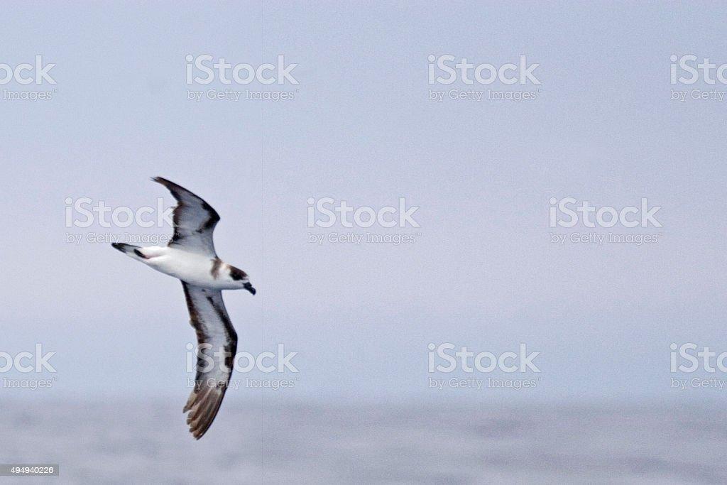 The Black-capped Petrel, Pterodroma hasitata stock photo