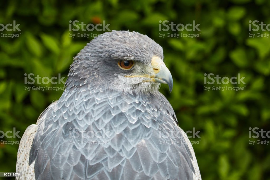 A águia de urubu-de-peito-preto - foto de acervo