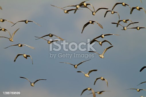 The black-crowned night heron colony on Drava River in Croatia
