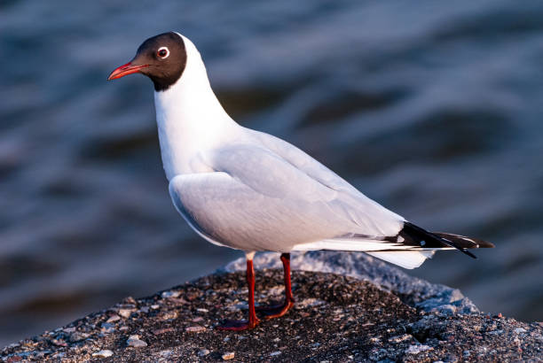 The black-headed gull (Chroicocephalus ridibundus).
