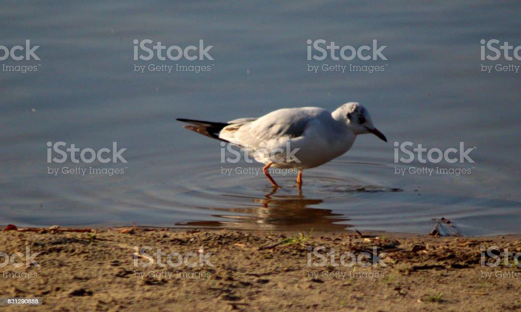 The black-headed gull (Chroicocephalus ridibundus) stock photo