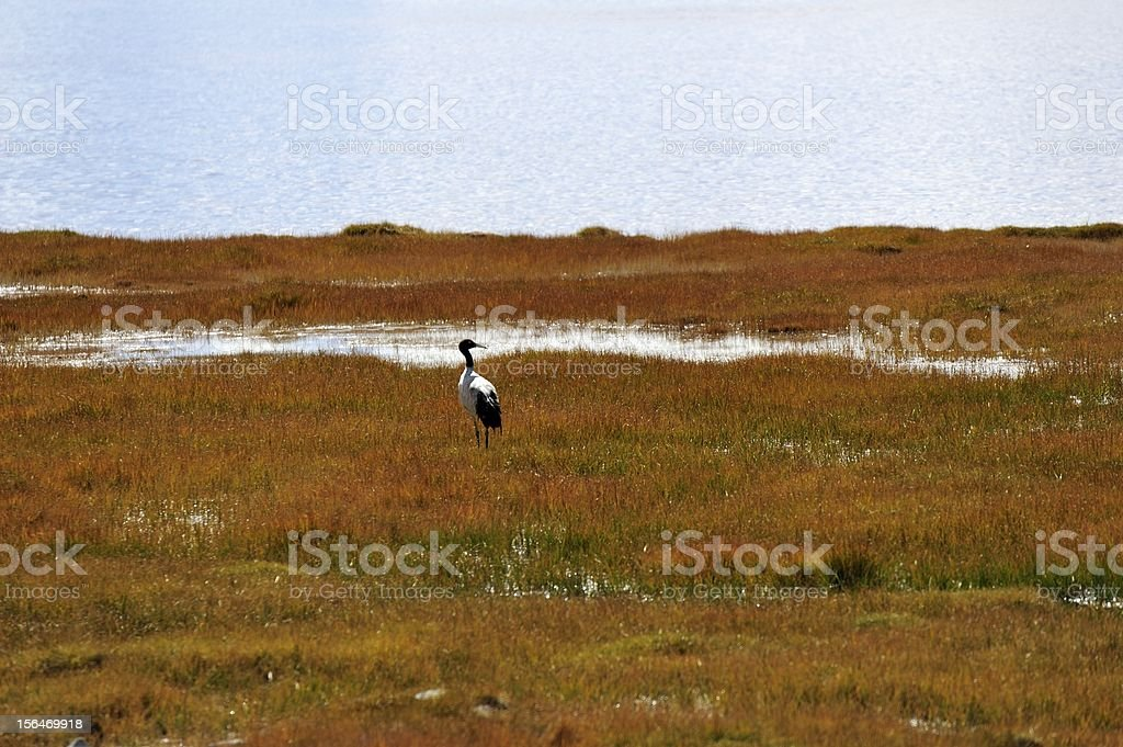 The black-necked crane royalty-free stock photo