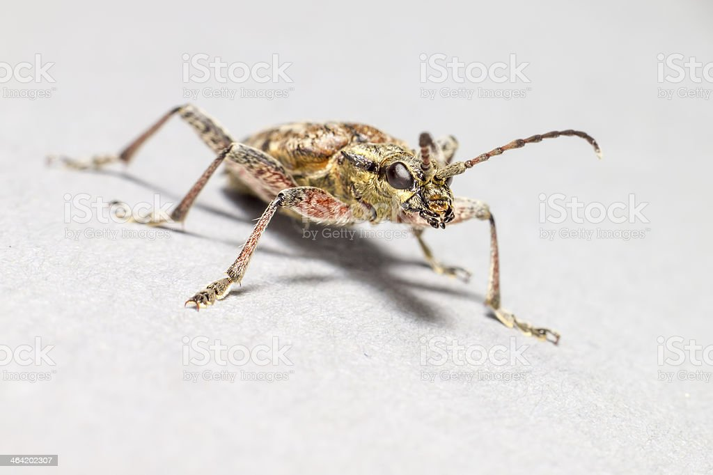 The blackspotted pliers support beetle (Rhagium mordax) stock photo