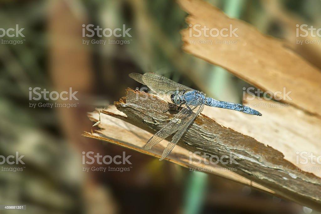 The black-tailed skimmer (Orthetrum cancellatum) stock photo