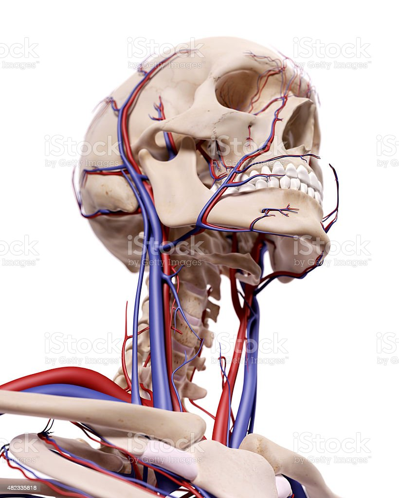 the blood vessels of the head medical accurate illustration of the blood vessels of the head 2015 Stock Photo