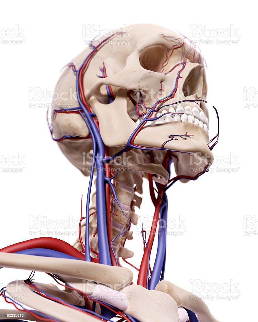 Los vasos sanguíneos de la cabeza - foto de stock
