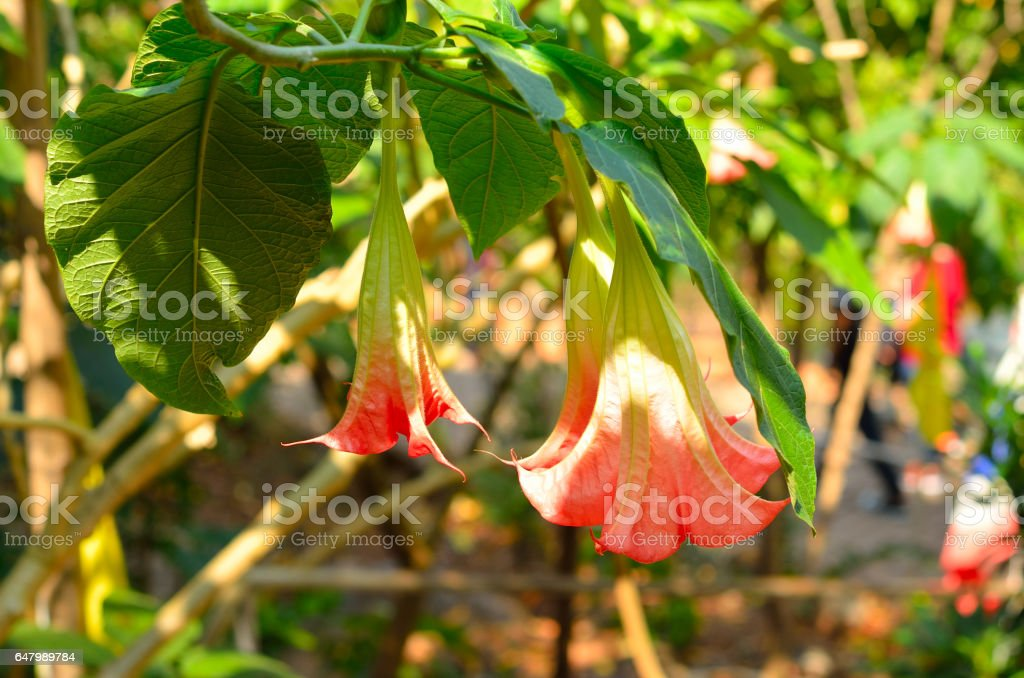 the blooming Datura flower on the tree stock photo