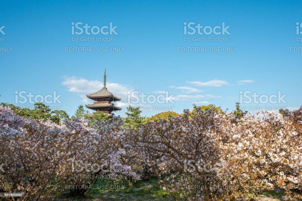 The blooming dwarf cherry trees inside Buddhist temple Ninna-ji stock photo