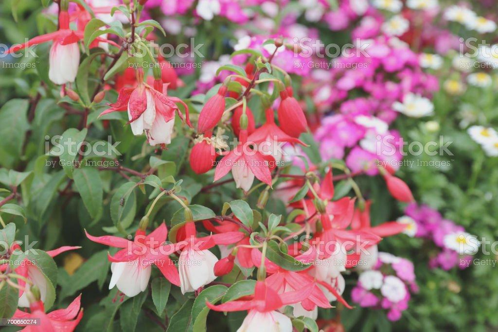 The Blooming Fuchsia Evergreen Shrub Stock Photo Download Image