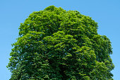 The blooming treetop of a big chestnut against a blue sky
