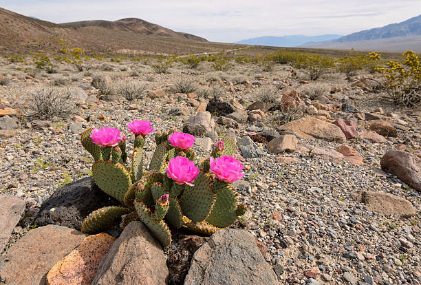 The blossoming cactus in the desert stock photo