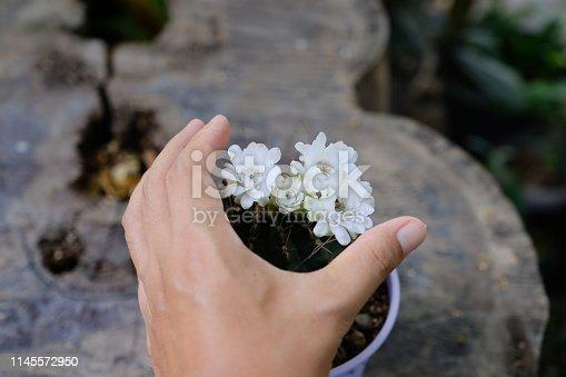 The blossoming of Gymnocalycium cactus