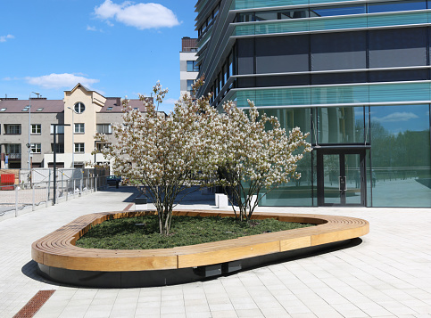 The blossoming spring  cherry trees in a public city recreation area landscape
