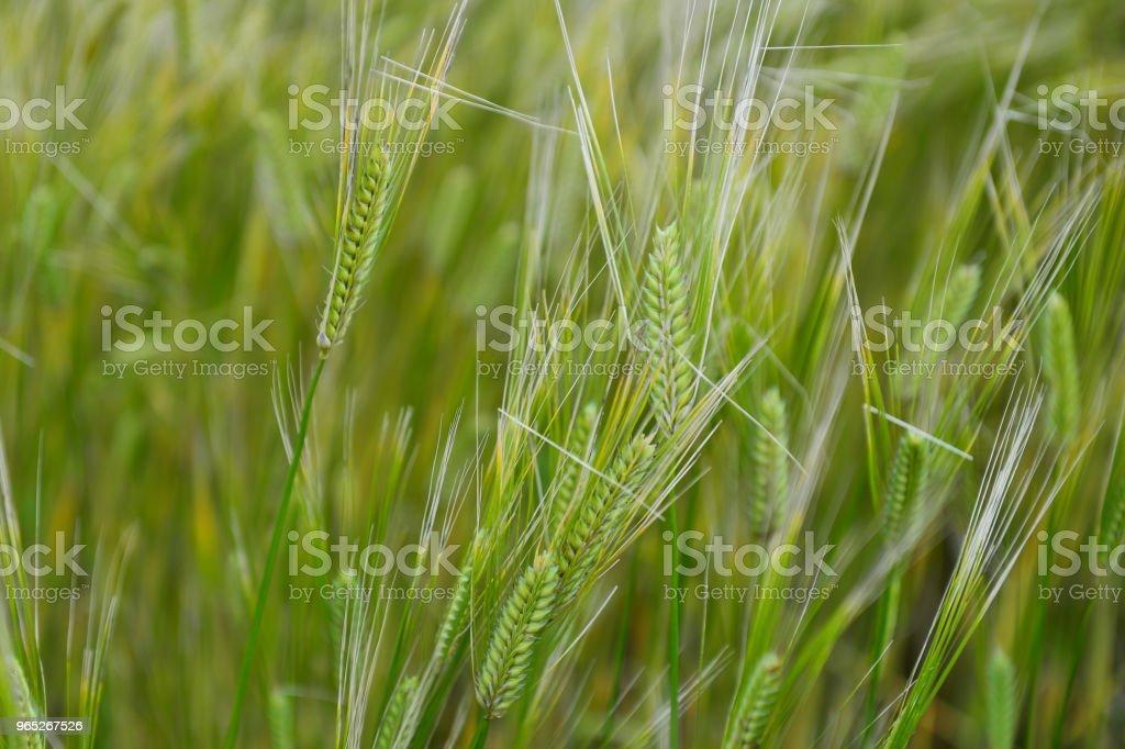 The blue barley field is very famous symbol in Gapado island, Korea. zbiór zdjęć royalty-free