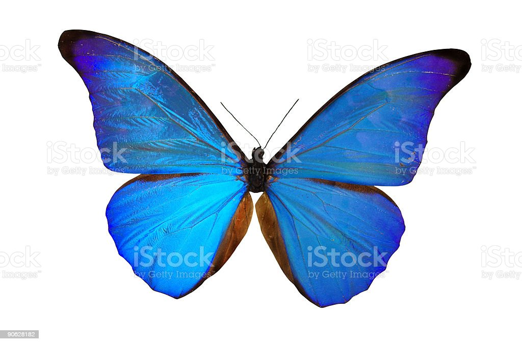 The Blue Butterfly royalty-free stock photo