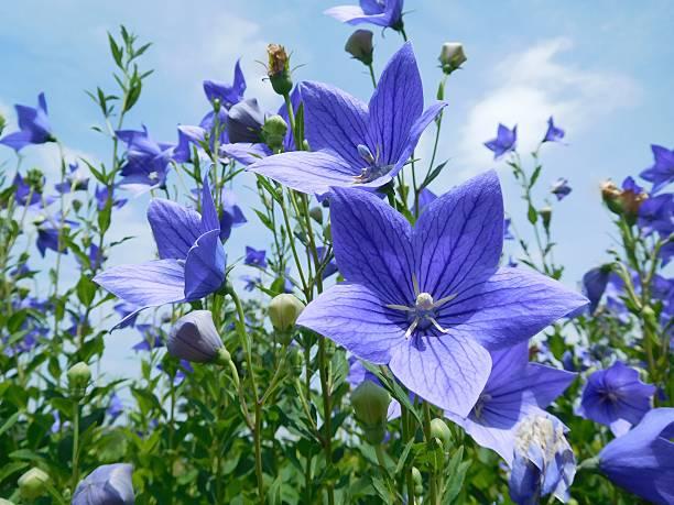 The blue flowers of Japanese bellflower under the blue sky – Foto