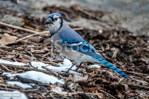 Blue Jay in winter in Central Park
